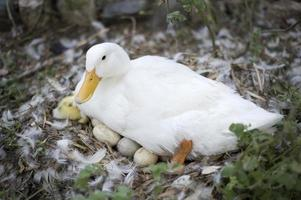 weiße Ente foto