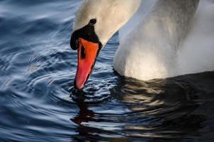 Höckerschwan nippt am Wasser foto