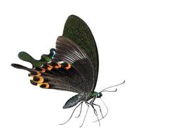 isolierte Paris Pfau Schmetterling saugen Nahrung foto