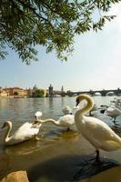 Schwan in Prag.