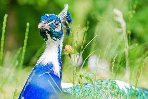 blauer Pfau, der auf grünem Gras in einem Park liegt foto