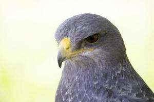 Falke foto
