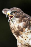 Raubvogel foto