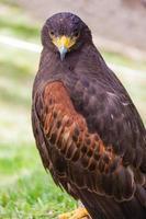 starrender Falke