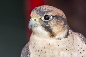 Falco Tinnunculus Kopf