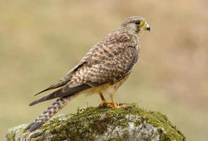 Turmfalke (Falco Tinnunculus) foto