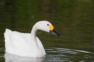 Singschwan auf dem Wasser foto
