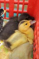 Gänschen und Huhn Neugeborenen ist eine Gruppe foto