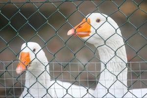 zwei Gänse im Käfig foto