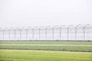Graureiher auf holländischer Wiese mit Gewächshäusern foto