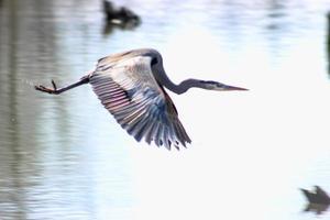 blauer Reiher, der über gefrorenem Parksee fliegt foto