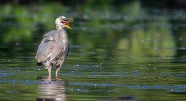 Graureiher, der einen Fisch isst foto