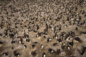 Kolonie von Rockhopper-Pinguinen und imperialen Shags