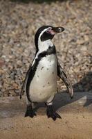 Humboldt-Pinguin (Spheniscus humboldti). foto