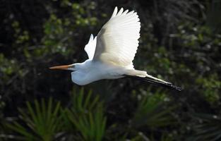 Silberreiher fliegt gegen Laub des Rookery, Florida