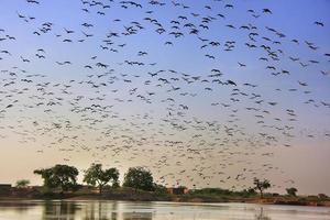 Herde von Demoiselle Crains fliegen im blauen Himmel, Khichan Village,