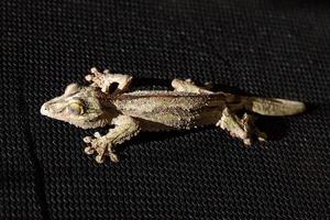 schwarzer Gecko foto
