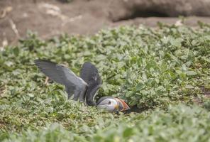 Papageientaucher, Fratercula Arctica, sitzt in seinem Bau foto