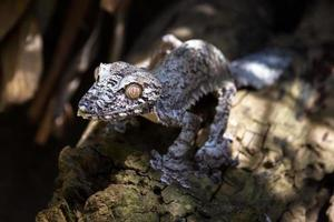 Blattschwanzgecko (Uroplatus fimbriatus) foto