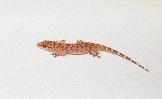mediterraner Hausgecko auf einer weißen Wand foto