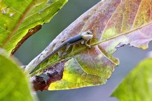 madagaskar day gecko (phelsuma madagascariensis) foto