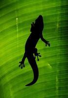 Gecko mit Hintergrundbeleuchtung foto