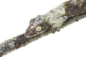 moosiger Blattschwanzgecko foto