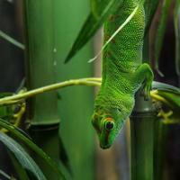 Madagaskar Tag Gecko foto