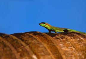 Gecko auf Palme foto