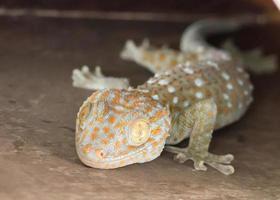 gemeinsames Haus tropischer Gecko, der an Wand klettert
