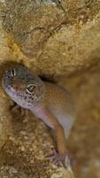 lächelnder Leopardgecko auf Wüste foto