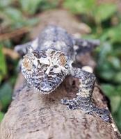 moosiger Blattschwanzgecko (uroplatus sikorae), getarnt auf einem Baum foto