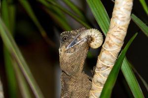 Eidechse auf einem Ast, Acanthosaura foto