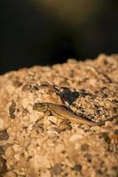 Beifuß Eidechse sceloporus graciosus utah foto