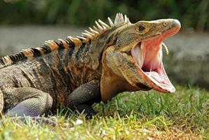 schwarzer Ctenosaurier foto