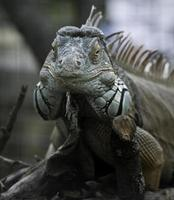 Frontalansicht des grünen Leguans foto