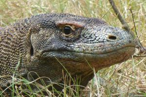 Komodo Drache foto