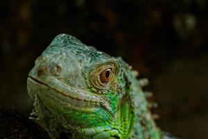 Porträt über einen grünen Leguan foto