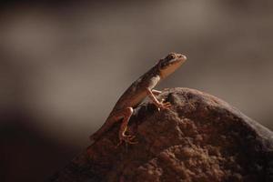 Reptilien in der Sahara foto