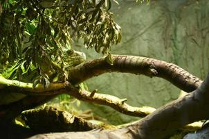 Eidechse versteckt sich in einem Baum foto
