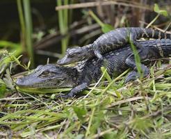 Baby Alligatoren
