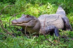 amerikanischer Alligator auf grünem Gras