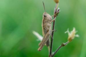 Cricket klettert einen Stamm einer Pflanze. foto