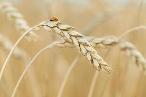 Marienkäfer sitzt auf Weizen. foto