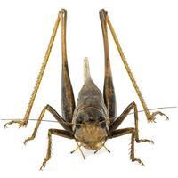 Heuschreckenfokus gestapelt