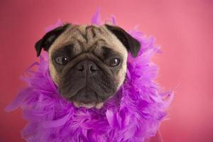 Mops Hund trägt Feder Boa foto