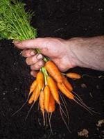 Mans Hand hält ein paar Karotten