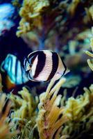 gebänderter Buttterflyfish mit Reflexion foto