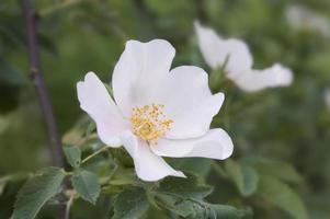 wilde Rosenblüten foto