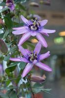 zwei Passionsblumen foto